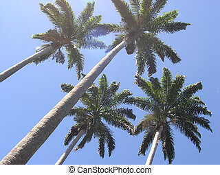 Palm trees - Four palm trees reaching for the sky