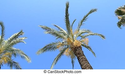 Palm trees swing against the blue sky