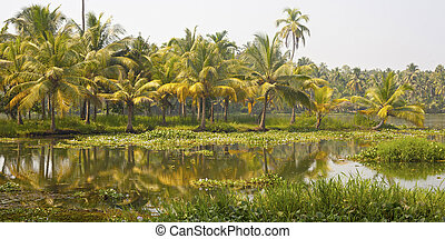 Palm trees taken on the backwaters of Kerala, India