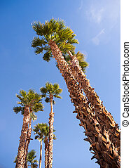 Palm Trees Towering into the Blue Sky Palm Springs