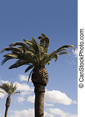 Palm Trees with Blue Skies as a Background