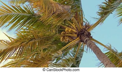 Palm trees with coconuts seen from the bottom