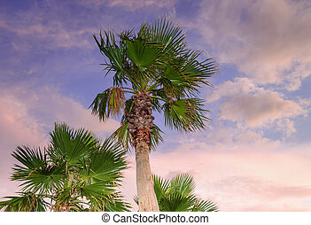 palm trees with sunset skies on background