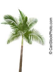 palm, vit, träd, isolerat, bakgrund