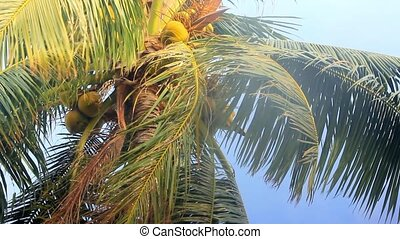 Palm with coconuts in the sky. Thailand