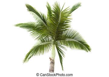 palm, witte , boompje, vrijstaand, achtergrond