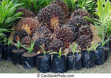 palma, alberello, seme, olio