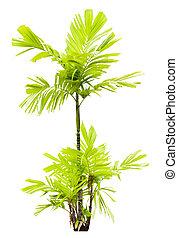 palma, arthur, árvore, jovem, isolado, mac