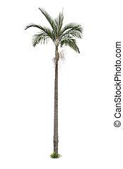 palma, blanco, árbol, aislado, plano de fondo