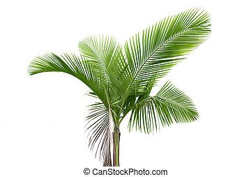 palma, blanco, árbol