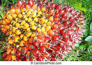 palma de aceite, fruits