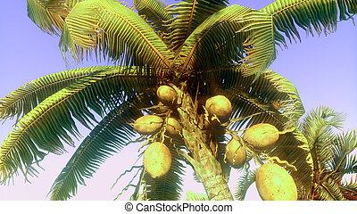 palma noce cocco