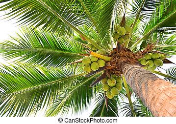Palma albero noce cocco albero noce cocco isolato - Palma di cocco ...