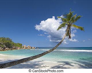 palma, solitario, albero