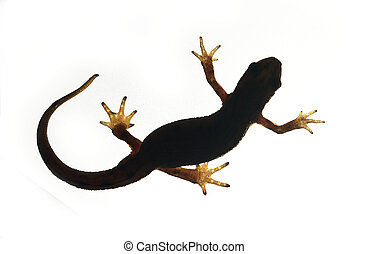 Palmate newt. Dark silhouette of a newt isolated on a white light background. Triturus helveticus. Lissotriton helveticus