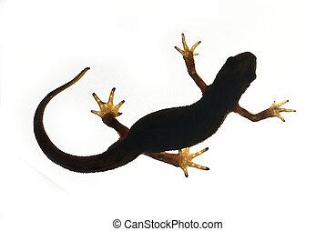 Palmate newt. Triturus helveticus - Palmate newt. Dark...