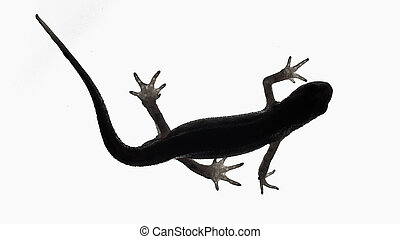 Palmate newt. Dark silhouette of a newt isolated on a white light background. Triturus helveticus. Lissotriton helveticus. Black and white.