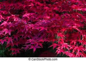 palmatum, feuilles, japonaise, automne, acer, érable, rouges