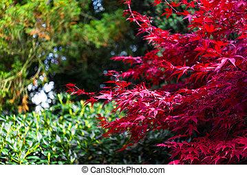 palmatum, hojas, japonés, otoño, acer, arce, rojo