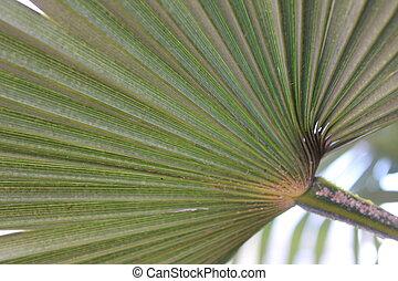 palmblatt, nahaufnahme, grün