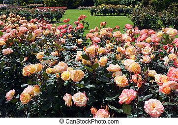 palmerston, nzl, norte, jardim, rosa