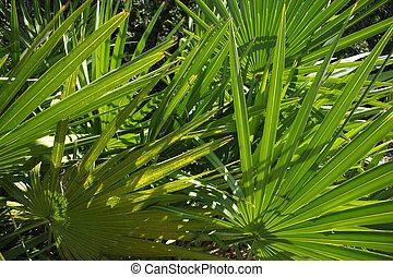palmetto, bladeren, door, zonlicht