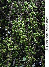 palmetto, clusters, zaden, of, besjes