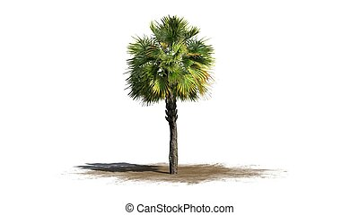 palmetto, palmboom