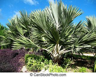 Sabal minor palmetto plant also known as Blue-stem palmetto, Bush palmetto, Dwarf palmetto, Little blue-stem