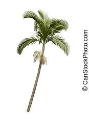 palmier, isolé, blanc, fond