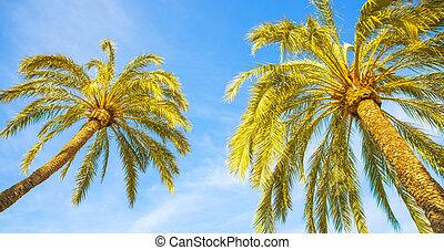 palmiers, ciel bleu