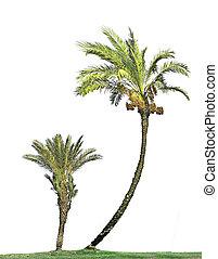 Palms isolated on white background