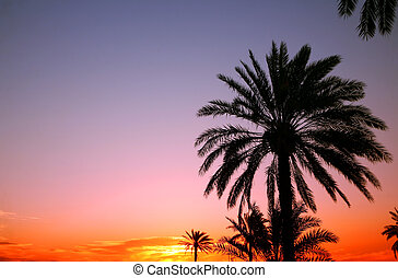 Arabian sunset - Palms silhouetted against an Arabian...