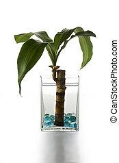 Palo de agua - Dracaena Massangeana: decorative plant in a...