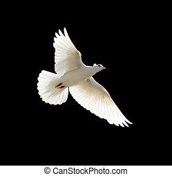 paloma, blanco, fondo negro
