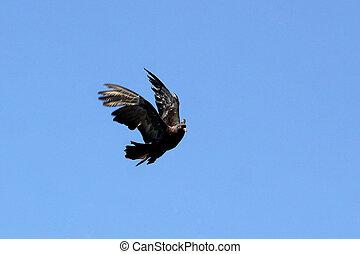 paloma, en el aire