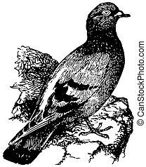 paloma, pájaro, roca