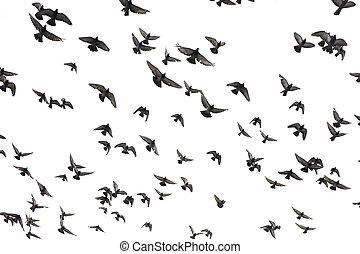 palomas, en, el, cielo