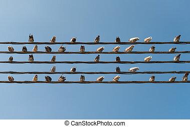 palomas, sentado, en, alambres, como, musical, notas.