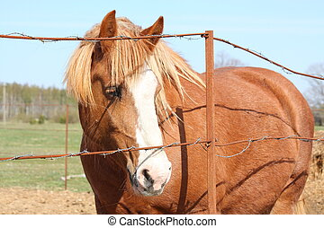 Palomino draught horse behind the barbed wire fence