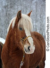 Palomino draught horse portrait in winter