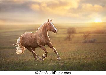 Palomino horse at sunset - Palomino horse run gallop in ...