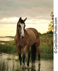 palomino horse at the evening gulf