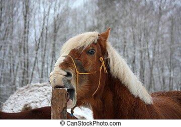 Palomino horse cribbing wooden fence - Palomino draught ...