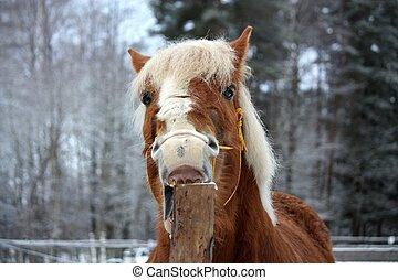 Palomino horse cribbing wooden fence - Palomino draught...
