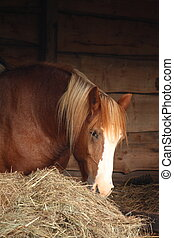 Palomino horse eating yellow hay - Palomino horse eating hay...