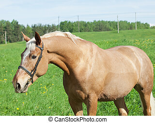palomino horse in green meadow - portrait of palomino horse ...