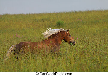 Palomino horse running in the field on freedom. White long ...