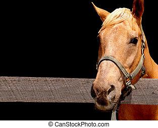 palomino, poney