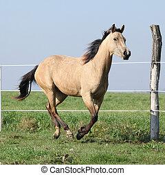 Palomino quarter horse running on pasturage in autumn
